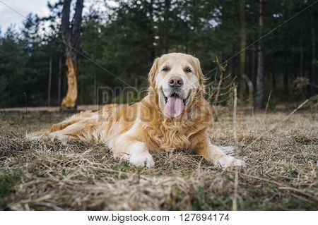 Golden Retriever laying on the straws lolled
