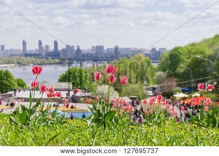 Kiev, Ukraine - April 23, 2016: Several pink tulips in the landscape park during tulips exhibition on blurred background of the river the bridge and the city building. Kiev Ukraine.