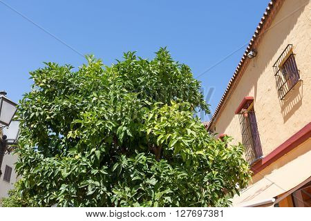 Classic Andalucian Spanish house and tree at summer