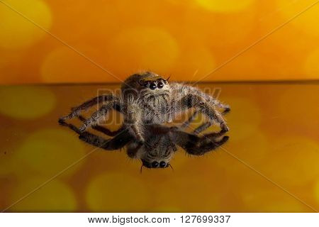 Select focus Jumping Spider macro Spider in Thailand