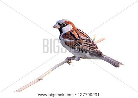 House Sparrow Bird