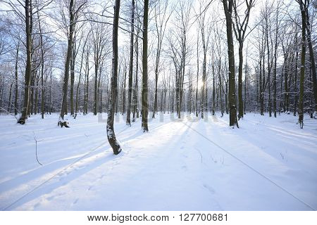 Winter In Beech Forest