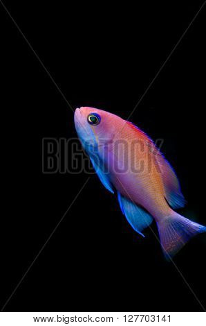 Female pink basslet swimming isolated on black background ** Note: Soft Focus at 100%, best at smaller sizes