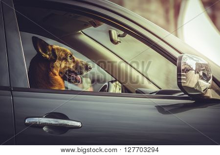 Side portrait of a happy German shepherd dog sitting in the driver seat. Trained dog driving steering a car. Attentive German shepherd at car steering wheel. Safe driving. Car security guard.