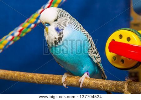 Blue wavy parrot sits on a branch