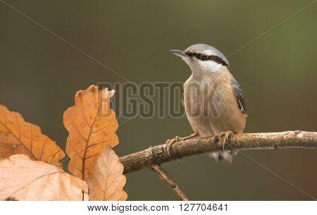 Wild nuthatch in natural habitat (Sitta europaea)