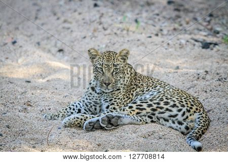 Leopard Laying In The Sand In The Sabi Sands.