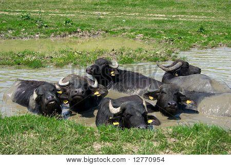 Buffalos In A Swamp