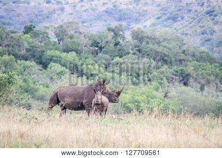 Mother White Rhino With Young In The Grass.