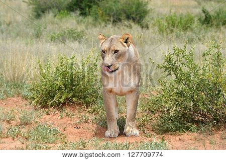 Wild Lioness standing in a bush and licking herself. The African savanna Namibia.