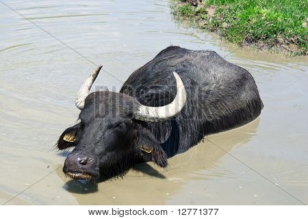 Buffalo In A Swamp