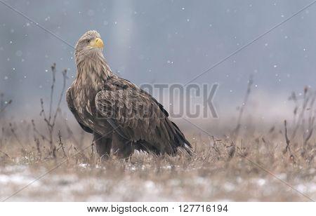 White Tailed Eagle (haliaeetus Albicilla) In Winter Scenery