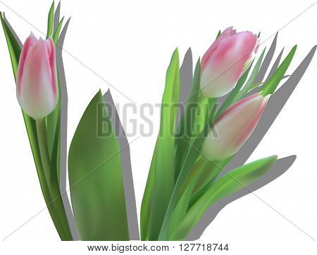 illustration with pink tulip flowers isolated on white background