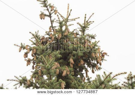 Green spruce. Tree, Spruce branches with cones