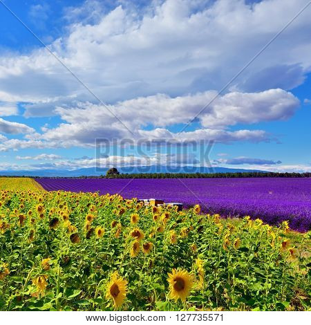 Stunning rural landscape with sunflower and lavender field. Plateau of Valensole Provence France