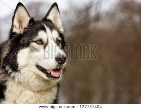 Siberian Husky Dog Outdoors In Nature