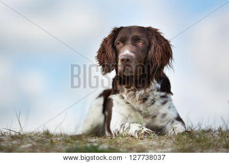 Kleiner Munsterlander Dog Outdoors In Nature