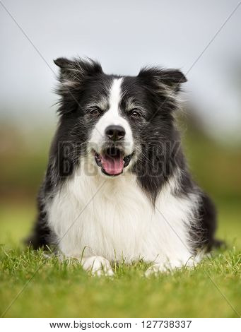 Happy And Smiling Border Collie  Dog