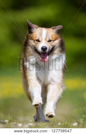 Icelandic Sheepdog Outdoors In Nature