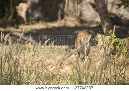 the leopard are hiding on the grass (selective focus)
