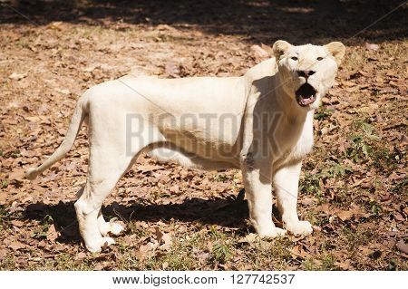 Female Lion be walking on the floor