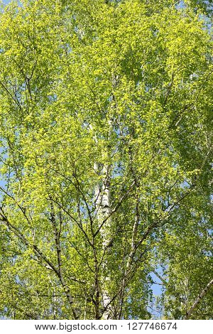 Beautiful birch with green leaves in spring against the sky.
