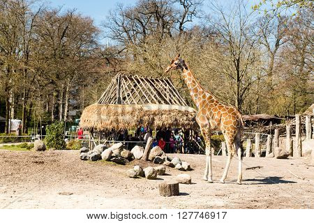Giraffes In Copenhagen Zoological Garden