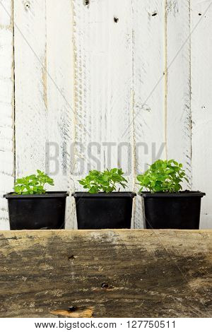 Young Green Shoots Of Greek Basil Herb White Background