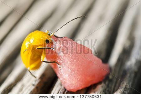 Yellow insect eating piece of watermelon on wooden background