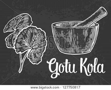 Gotu kola - medicinal plant.  Vector vintage engraved illustration.