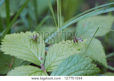 Two panorpa communis sit on green leaves.