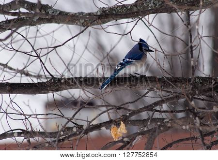 a blue jay on a branch in a tree.