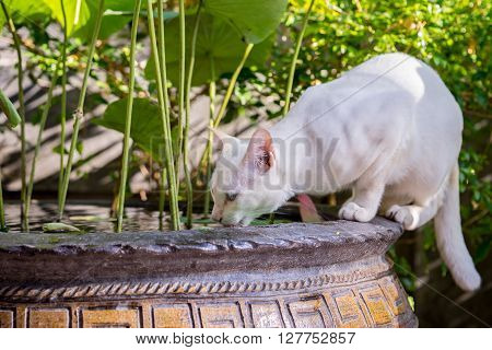 Cat Drinking A Water From The Vase With Water Lilies