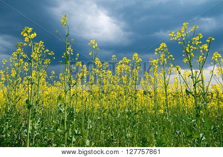 Agricultural field with blossoming colza. Blossoming colza.