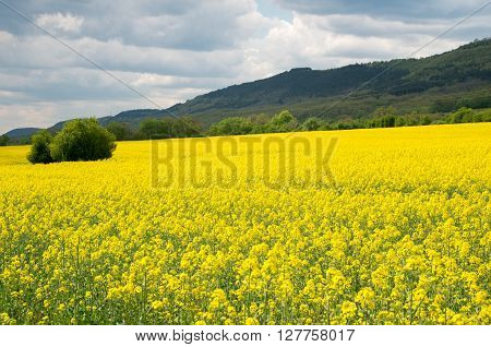 Field with colza. A field of flowering colza.