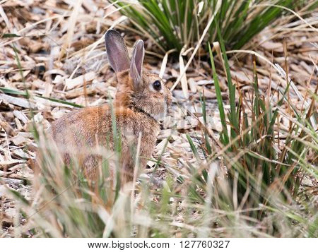 Little cute redhead wild rabbit with long ears and big eyes is hiding in the grass Australia