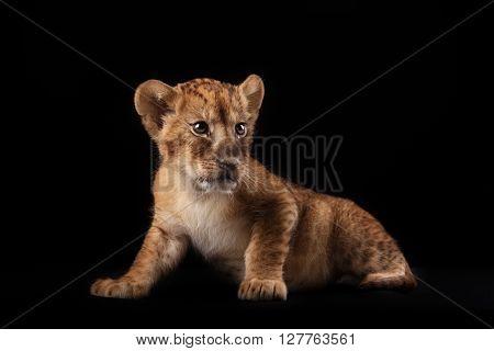 Little Lion Cub  On Black Background