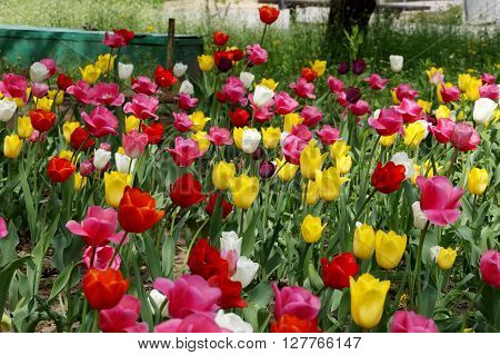 City tulips on a lawn in the central park