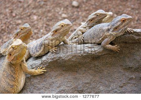 Lizard Line Up