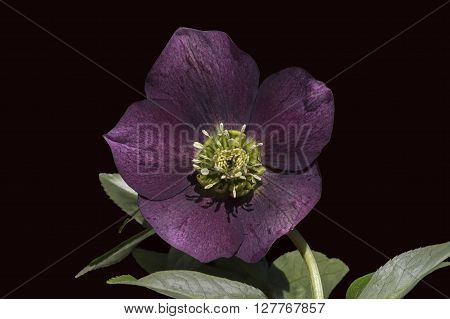 Hellebores are from the Eurasian genus Helleborus and comprise approximately 20 species of herbaceous or evergreen perennial flowering plants in the family Ranunculaceae.