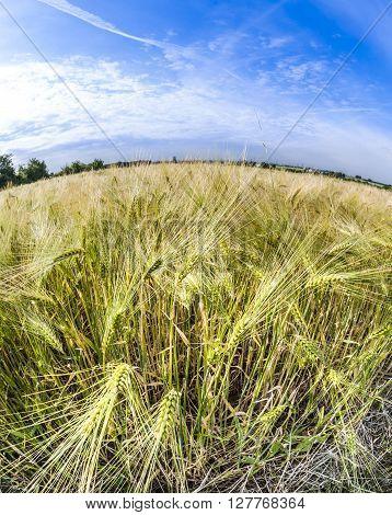 spica of wheat in corn field under blue sky