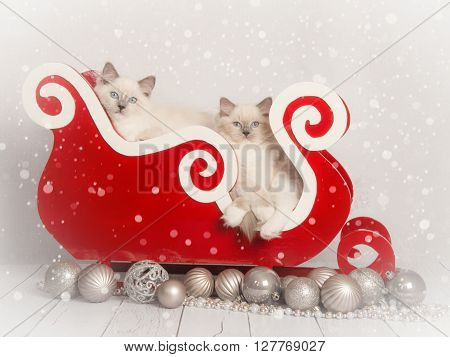 Two young rag doll cats in a red sleigh with silver christmas decoration without text