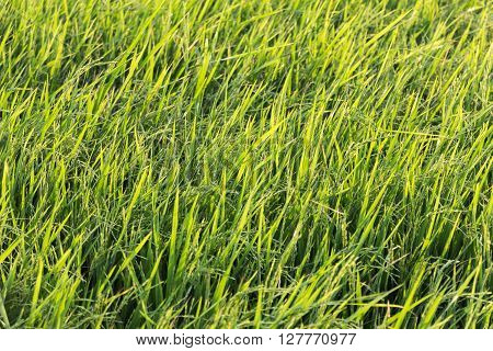The green Grasses in the rice field.back ground