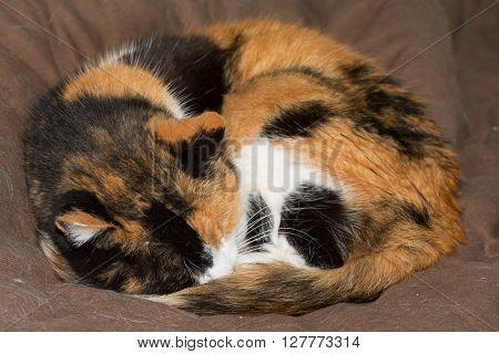 Calico cat asleep, curled up tight, on brown soft bed