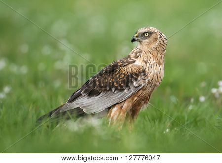 Marsh Harrier (circus Aeruginosus) In Spring Scenery