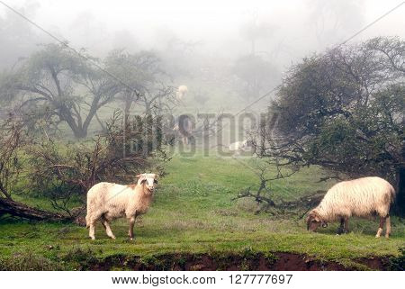 Sheeps In The Fog