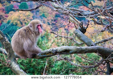 Japanese macaque in front of colorful leaves Arashiyama Kyoto Japan