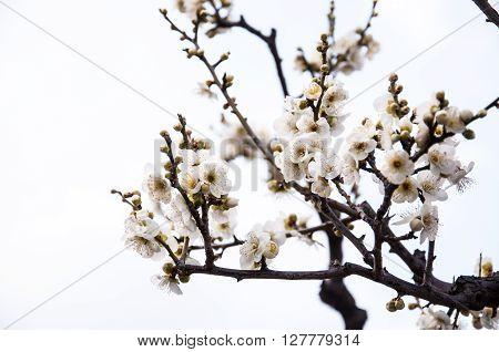 Blossoming Japanese plum flowers, Osaka Prefecture, Japan