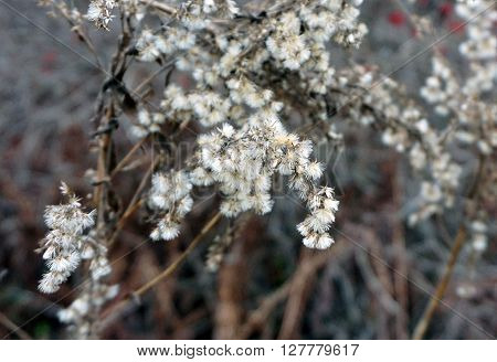 The seeds of a goldenrod (Solidago sp) plant during December in Harbor Springs, Michigan.