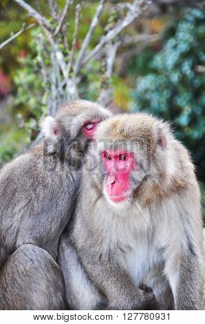 Two Japanese macaque snuggling up to stay warm during autumn